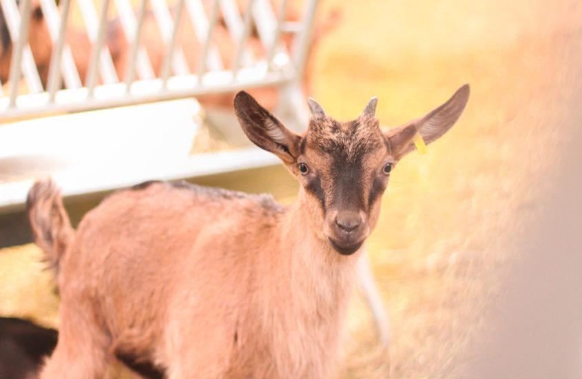 Visite de la Chèvrerie de la Gliamery à St-Nicolas la Chapelle