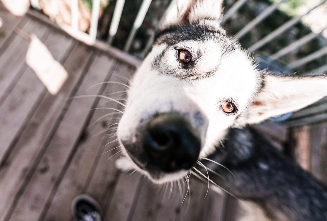 Rencontre avec des chiens nordiques en savoie